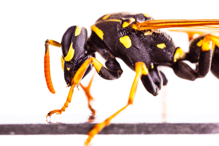 Makroaufnahme einer gemeinsamen Wespe isoliert über einen weißen Hintergrund Standard-Bild - 73597629