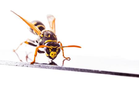 Makroaufnahme einer gemeinsamen Wespe isoliert über einen weißen Hintergrund Standard-Bild - 73597631