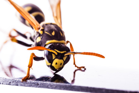 macro shot of a common wasp isolated over a white background