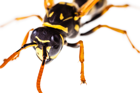 Makroaufnahme einer gemeinsamen Wespe isoliert über einen weißen Hintergrund Standard-Bild - 73519660