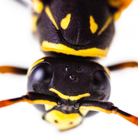 macro foto de una avispa común aislada sobre un fondo blanco Foto de archivo