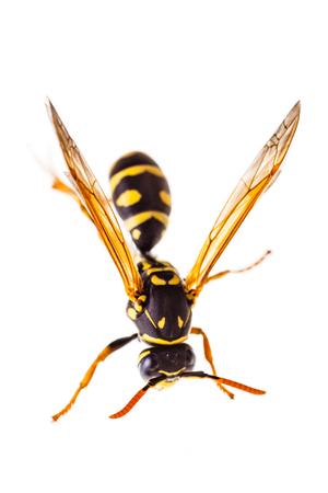 Makroaufnahme einer gemeinsamen Wespe isoliert über einen weißen Hintergrund Standard-Bild - 73194714