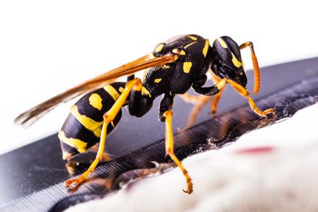 Makroaufnahme einer gemeinsamen Wespe isoliert über einen weißen Hintergrund Standard-Bild - 73341295