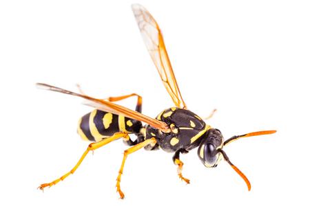 Makroaufnahme einer gemeinsamen Wespe isoliert über einen weißen Hintergrund Standard-Bild - 73599426