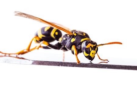 Makroaufnahme einer gemeinsamen Wespe isoliert über einen weißen Hintergrund Standard-Bild - 73198046