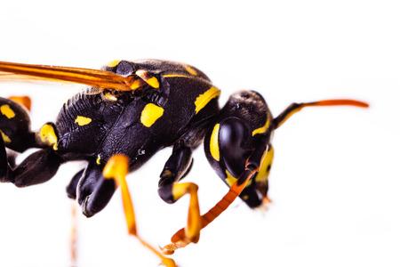 Makroaufnahme einer gemeinsamen Wespe isoliert über einen weißen Hintergrund Standard-Bild - 73194723