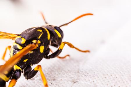Eine schwarze und gelbe Wespe kriecht auf einem Tischtuch Standard-Bild - 73248718
