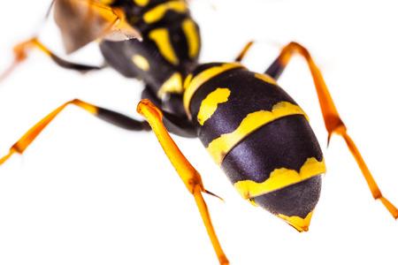 Makroaufnahme einer gemeinsamen Wespe isoliert über einen weißen Hintergrund Standard-Bild - 73248760