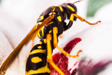 a black and yellow wasp crawling on a tablecloth Banco de Imagens - 118798804