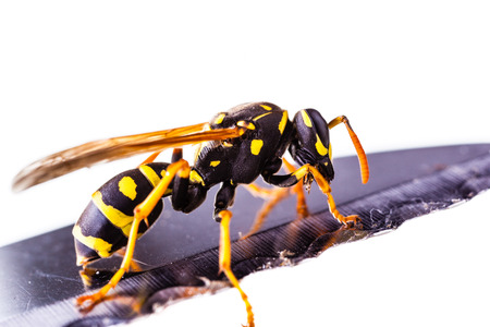 macro shot of a common wasp isolated over a white background Banco de Imagens - 118798806