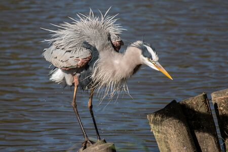 blue heron: View of a Blue Heron after Getting out of the Water Stock Photo