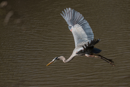 blue heron: Blue Heron Flying over the water looking for food