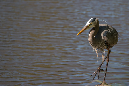 ardeidae: View of a Blue Heron bird looking to the left and walking Stock Photo