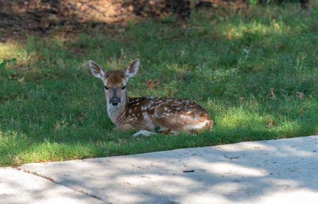 Fawn Looking Straight into the Camera While Sitting on Grass Next to Driveway