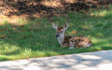 View of Fawn Sitting on the Shadow on Wet Grass
