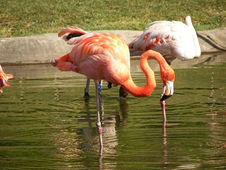 The flamingo in the pool photo