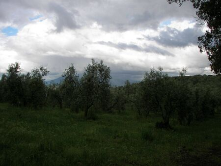The Olive tree coltivation in Tuscay Central Italy Stock Photo