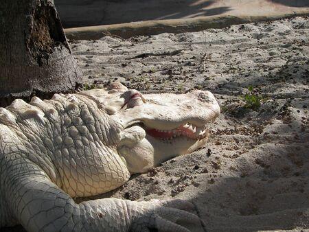 The white crocodile