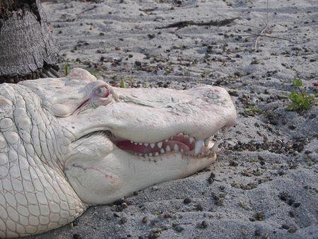 El cocodrilo blanco Foto de archivo - 3187615