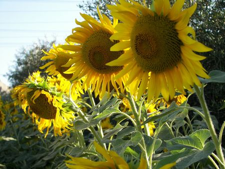 Field of sunflower  photo