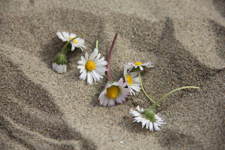 blosom: Gentle Daisy flower among sand