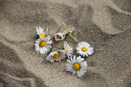 Gentle Daisy flower among sand photo