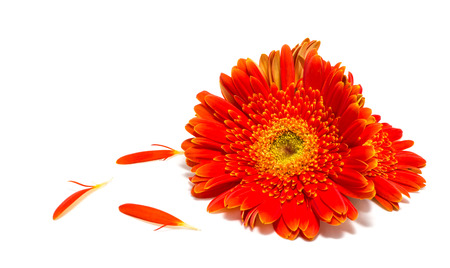 beautiful gerbera flower isolated on white background