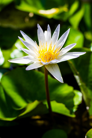 beautiful white lotus flower on the water