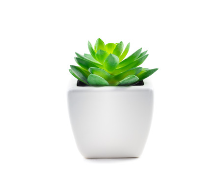 green plant: Succulent in Pot isolated on white background Stock Photo