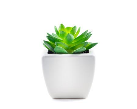 crecimiento planta: Suculento en el crisol aislado en el fondo blanco