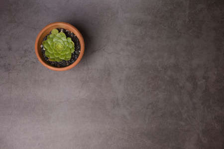 Succulent in pot on gray concrete background. Copy space for text.