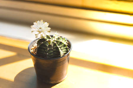 Succulent plant and a white flower on wooden shelf near window glass in room with sunlight. Beautiful black pot set.