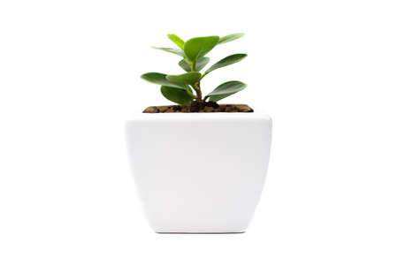 Ficus annulate in Pot isolated on white background. Banque d'images