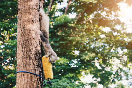 grey squirrel eating corn on the tree