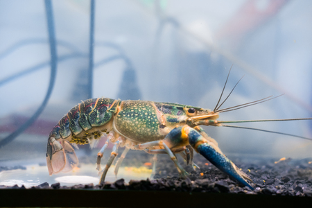 Crayfish lobster has eggs at abdomen, Cherax quadricarinatus Stock Photo