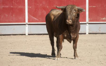 Bull in a bullring. Typical and traditional festival espana ola