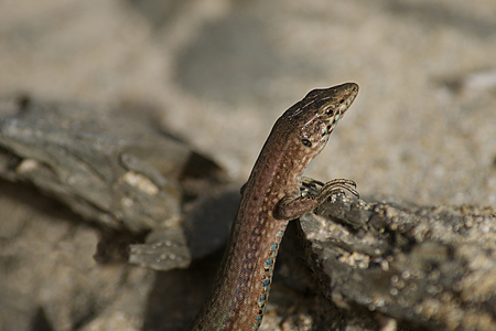 The lizard Podarcis lilfordi brauni, is an endemic reptile of the island of Colom in Menorca