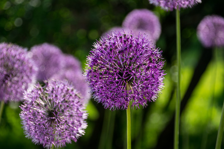 Saturated Allium flower at first plan Stock Photo