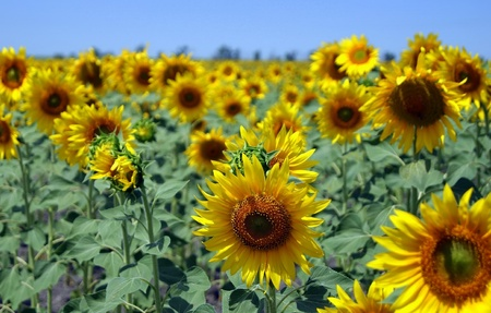 A view of a sunflowers field in summer photo