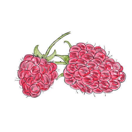 Hand drawn watercolor raspberry isolated on white background. Sketch style vector, cute eco food illustration