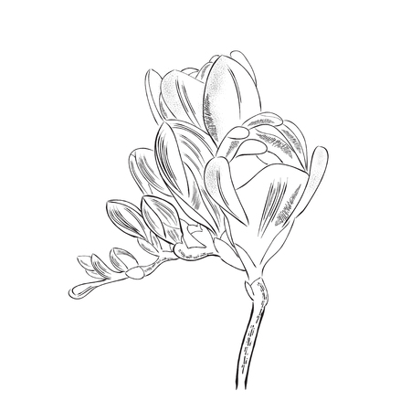 Hand drawn  outline freesia flower isolated on white background, vector format