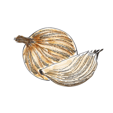 Hand drawn watercolor onion isolated on white background, vector format