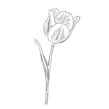 Flor de tulipán de contorno dibujado a mano aislada sobre fondo blanco, formato vectorial