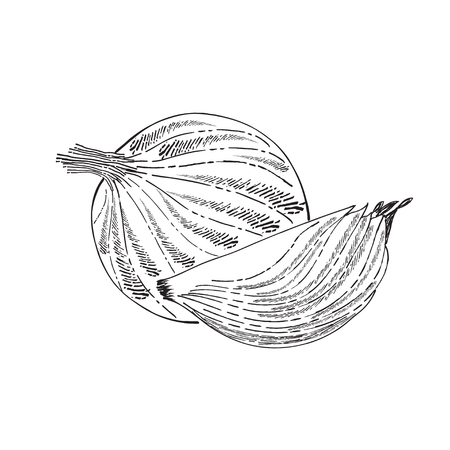 Hand drawn  outline onion isolated on white background, vector format