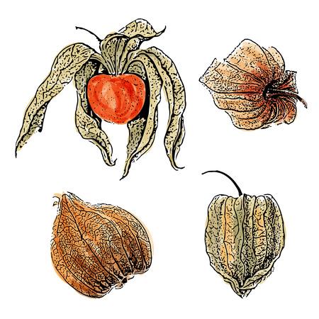 Aquarell Physalis Fruchtsatz isoliert auf weißem Hintergrund, Vektorformat