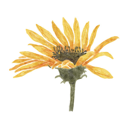 Watercolor yellow flower isolated on white background, vector format