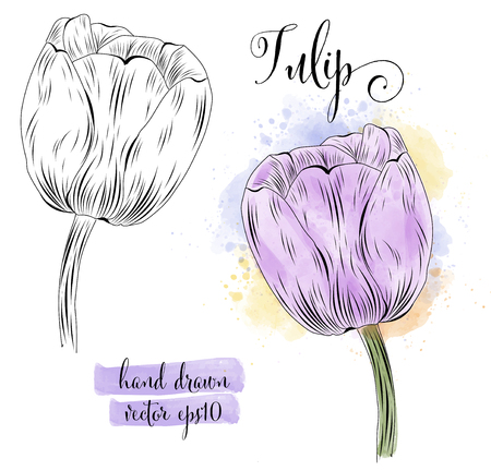 botanical art watercolor tulip flower, vector format