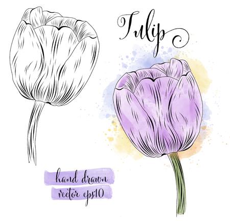 botanical art watercolor tulip flower, vector format