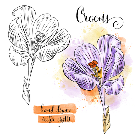 botanical art watercolor crocus flower, vector format