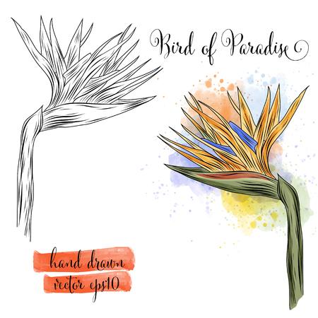 botanical art watercolor bird of paradise flower, vector format Illustration